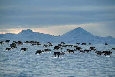 2000 mile Caribou migration photo by howstuffworks