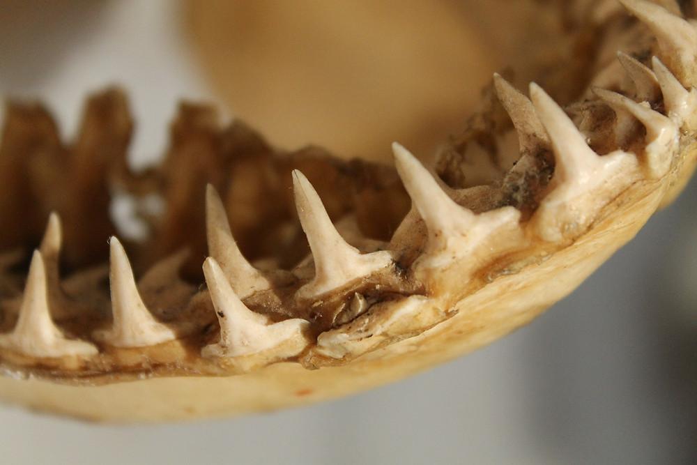 Shark teeth by simonegmoreira
