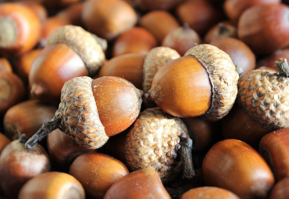 acorns become the mighty oak by Klimkin