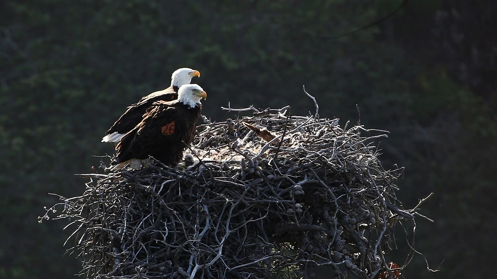 Bald eagles in nest by skeeze