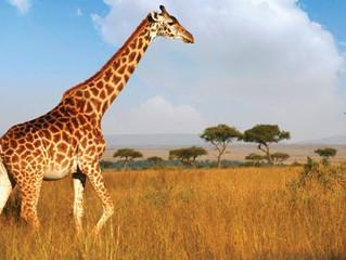 Giraffe Tongue (Zoology)