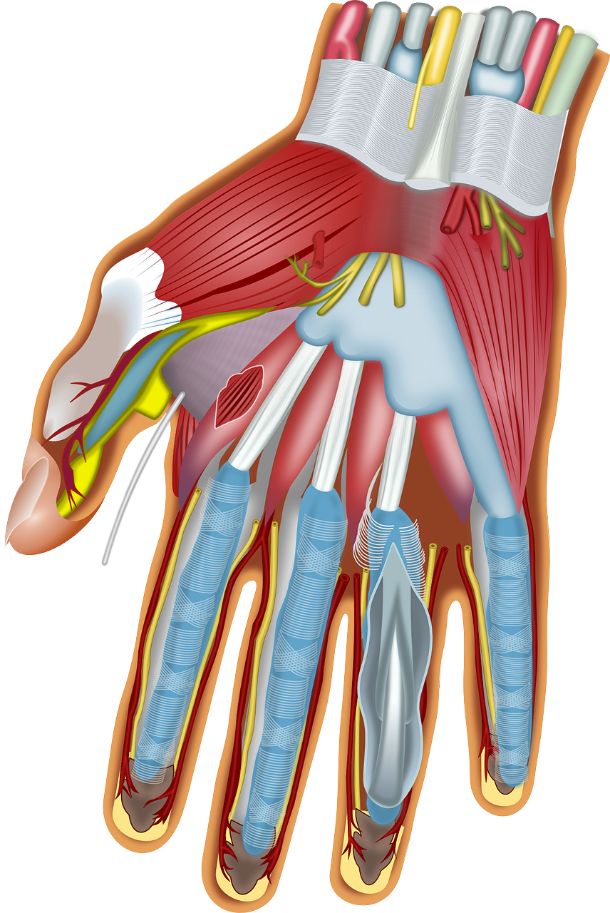 Hand and Finger anatomy by OpenClipart-Vectors
