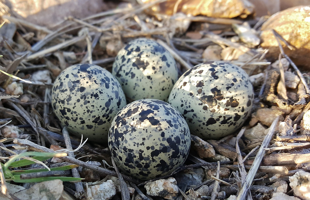 Killdeer eggs photo by Brett_Hondow