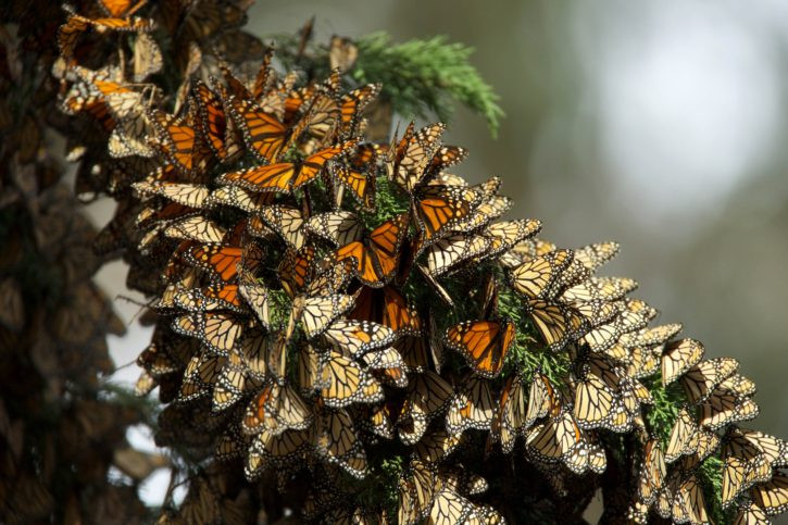 Monarch Butterflies by Hagerty Ryan USFWS