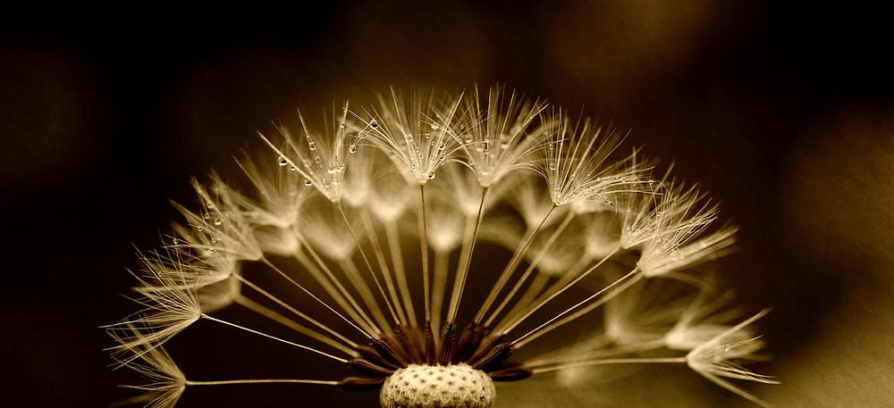 Dandelion seeds by susannp4