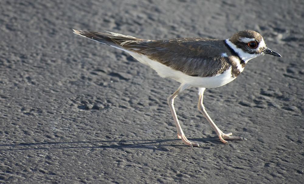 Kildeer bird photo by alphnumericlogic