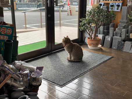 リアル招き猫『タマ店長』