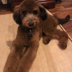 labradoodle bb angel 5 mois.png