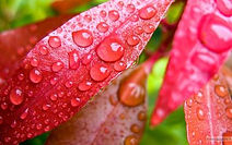 water-drops-of-red-leaves - Copie.jpg