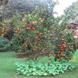 Fremont Tangerine 2010.jpg