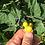 Thumbnail: 'Poha berry'