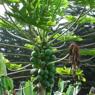 Garden Papaya.jpg