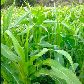 GMO Corn Contamination 101