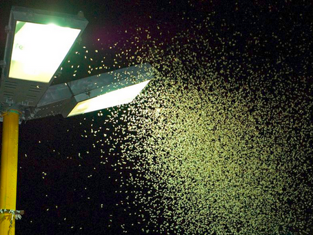 Pollinators: switch street lights off at midnight to help moths and nocturnal wildlife