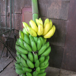 Dwarf Apple Banana.jpg