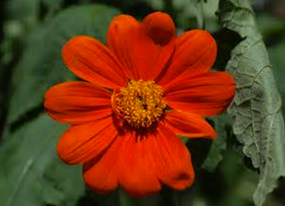 'Mexican Sunflower' - Tithonia