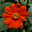 Thumbnail: 'Mexican Sunflower' - Tithonia