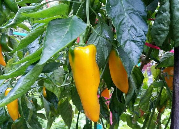 'Hawaiian Sunray' Sweet Pepper