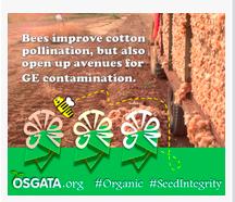 Cotton Contamination by GMOs
