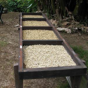 Drying Coffee .jpg