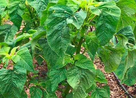 Calaloo (Leaf Amaranth)