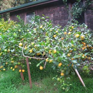 Lemon Meyer.jpg