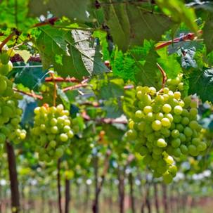 table grapes.jpg