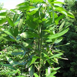 Cinnamon 2008.jpg