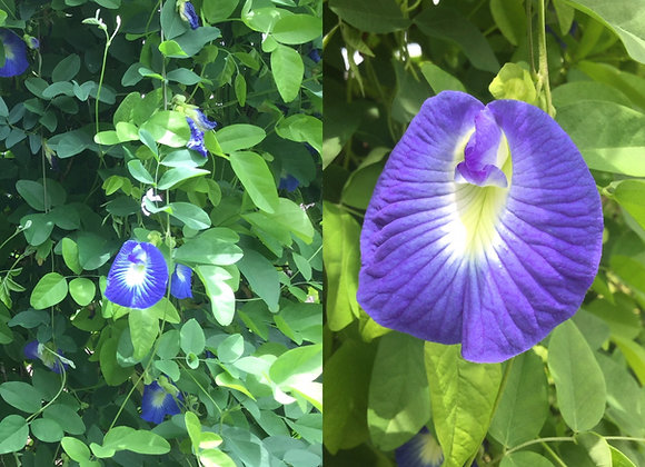 Blue Butterfly Pea Vine (Clitoria Ternatea)