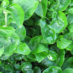 Sisso Spinach 2008.jpg