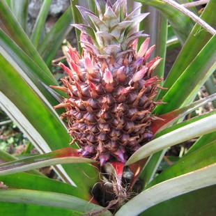 White Pineapple.jpg