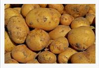 Avoiding Contamination from GE Potatoes