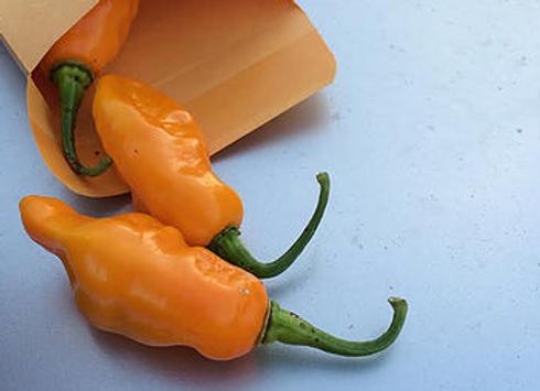 'Datil' Hot Pepper