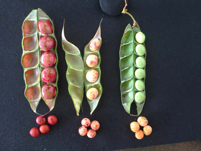 2019 Brings Exciting New Seed Introductions For Hawaii