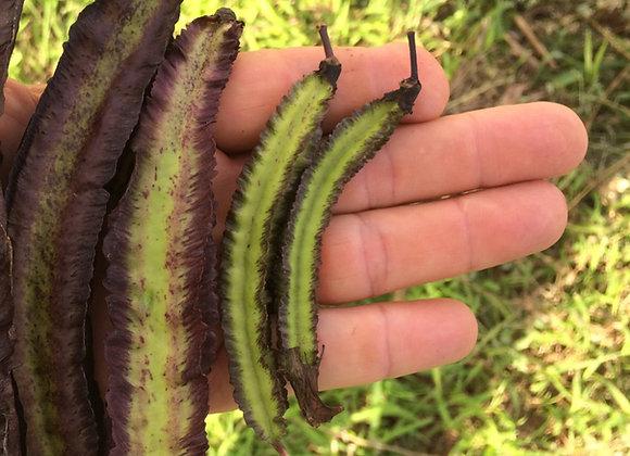 'Chimbu' Purple Winged Bean