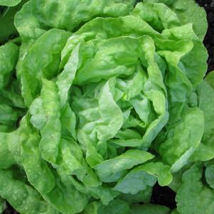 Margaret's Lettuce.jpg