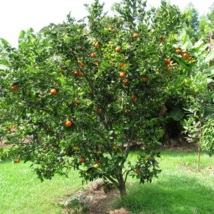 Tangerine 2008.jpg