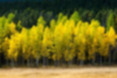Brilliant yellow aspen trees behind tan