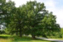 quercus-bicolor-habit-mt.-airy-6-958x635