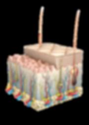 Detaillierte 3D-Darstellung eines Querschnitts der Epidermis