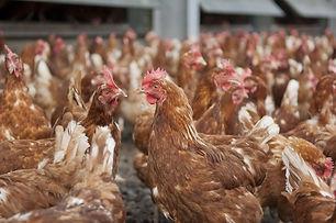 Chicken Brown Shaver Chickens.jpg