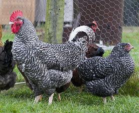 Chicken Cuckoo-maran.jpg