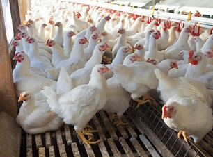 Broiler Chickens.png