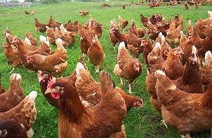 Lohmann Brown Chickens