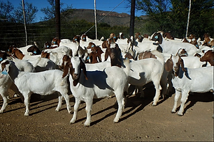 Boer Goats Boer.png