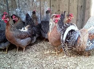 Chicken Legbar