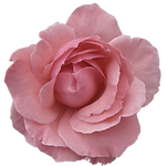 pink rose_edited.png
