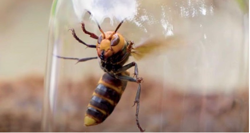 Murder Hornets make their appearance in the US
