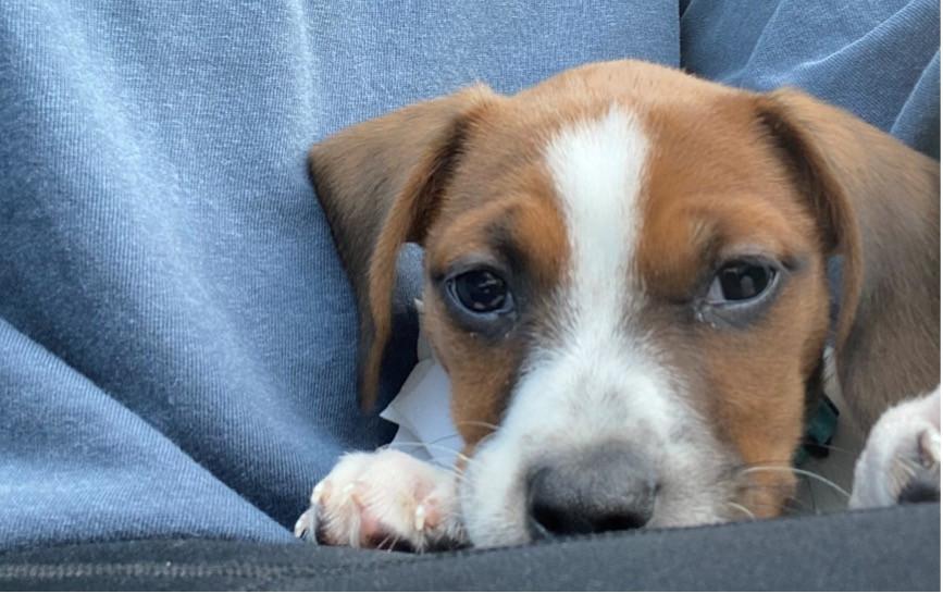 Ms. Ripley's rescue puppy, Opal Mae