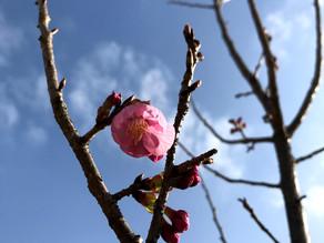 KIZUNA HOMEの桜咲く